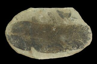 "3.1"" Fossil Fern (Macroneuropteris) Pos/Neg - Mazon Creek For Sale, #121169"