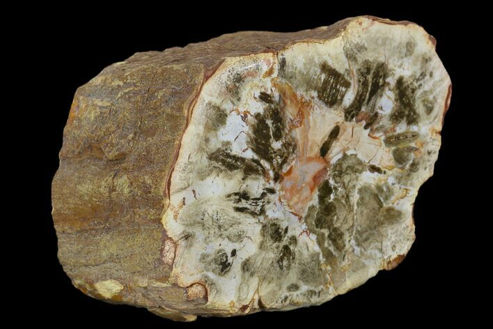 "3.4"" Colorful Petrified Wood (Araucaria) Limb - Madagascar"