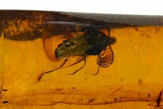Buy Fossil Beetle (Coleoptera) with Flabellate Antennae In Amber - Myanmar - #128920