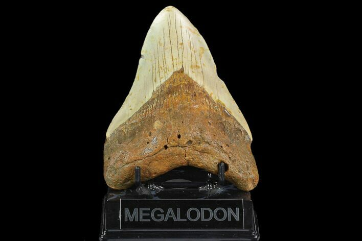 "5.21"" Fossil Megalodon Tooth - North Carolina"