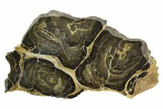 "4.7"" Polished Stromatolite (Acaciella) from Australia -800 Million Years For Sale, #129146"
