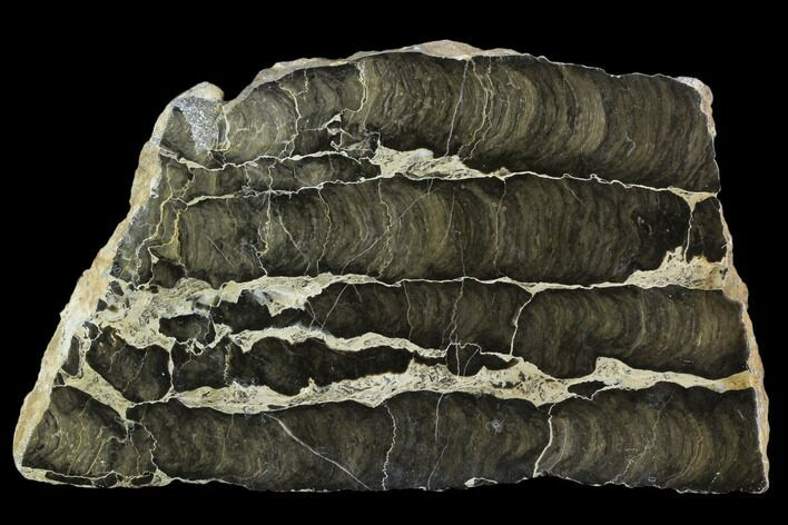 "6.9"" Polished Stromatolite (Boxonia) From Australia - 800 Million Years"