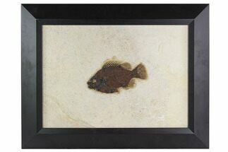 "Buy 5.6"" Framed Fossil Fish (Cockerellites) - Wyoming - #129136"