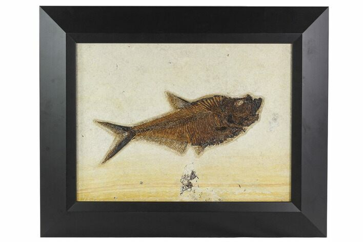 "9.3"" Framed Fossil Fish (Diplomystus) - Wyoming"