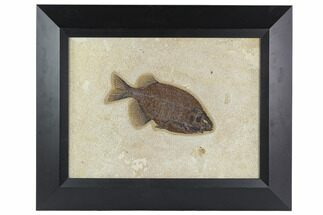 "6.8"" Framed Fossil Fish (Phareodus) - Wyoming For Sale, #129134"