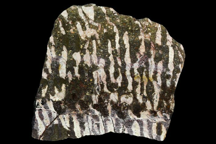 "6.7"" Polished Stromatolite (Collenia) Slab - Minnesota"