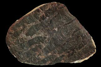 "7.9"" Polished Stromatolite (Inzeria) Slab - 800 Million Years For Sale, #129224"