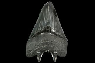 Carcharocles megalodon - Fossils For Sale - #129438
