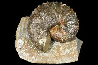 "Buy 4.6"" Fossil (Jeletzkytes) Ammonite - South Dakota - #129526"