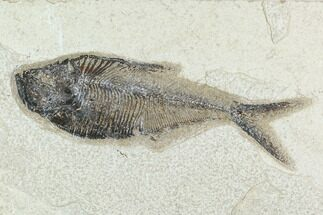 Diplomystus dentatus - Fossils For Sale - #129597