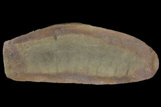 "2.7"" Partial Tully Monster (Tullimonstrum) - Mazon Creek For Sale, #129599"