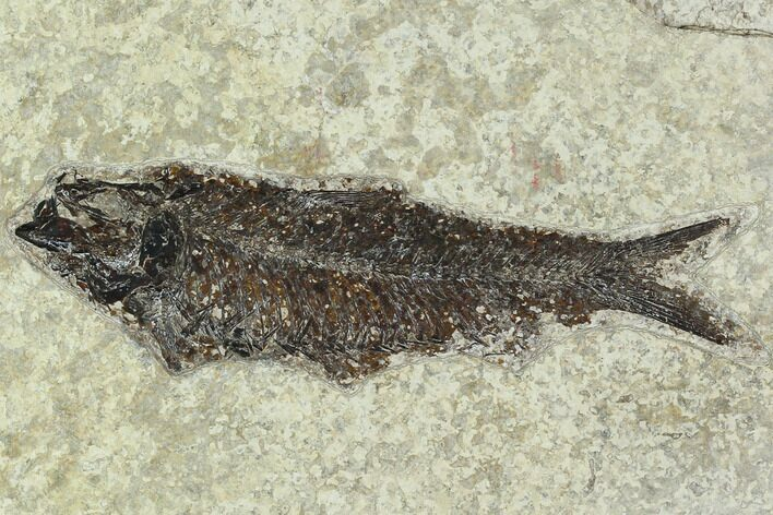 "5.1"" Fossil Fish (Knightia) - Green River Formation"