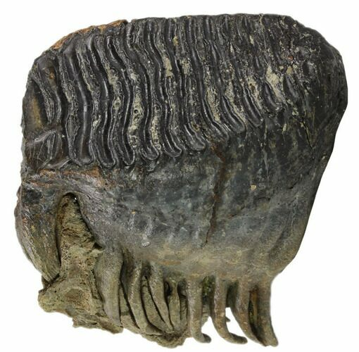 "6.3"" Fossil Woolly Mammoth Molar - Collector Quality"