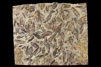 "17.7"" Fossil Fish (Gosiutichthys) Mortality Plate - Lake Gosiute For Sale, #130100"
