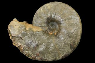"7"" Unusual, Triassic Ammonite (Discoceratites) Fossil - Germany For Sale, #130205"