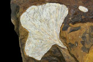 Ginkgo adiantoides - Fossils For Sale - #130431