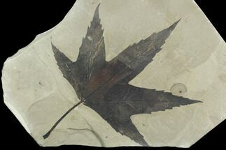 Platanus wyomingensis - Fossils For Sale - #130449