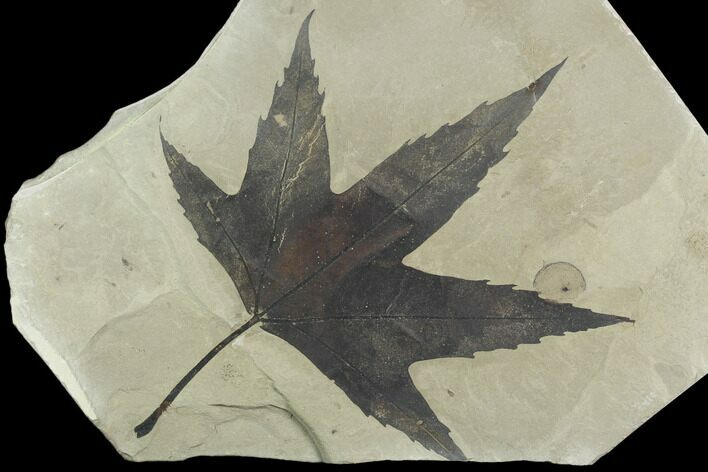 "6.7"" Fossil Sycamore Leaf with Incredible Preservation - Utah"