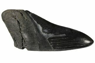 Carcharocles megalodon - Fossils For Sale - #130863
