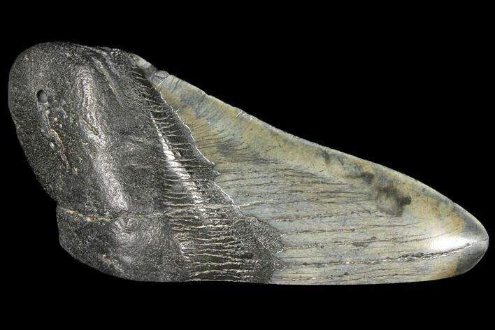 "4.89"" Fossil Megalodon Tooth ""Paper Weight"""