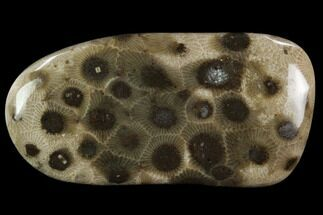 "2.65"" Polished ""Petoskey Stone"" (Fossil Coral) - Michigan For Sale, #131054"