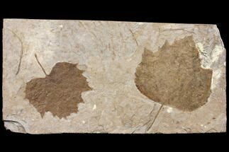 Buy Two Fossil Sycamore Leaves (Platanus) - Nebraska - #130447