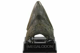 "4.95"" Fossil Megalodon Tooth - South Carolina For Sale, #131204"