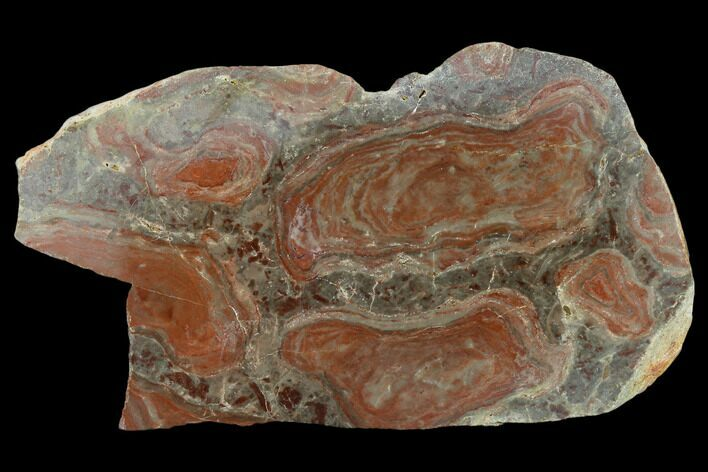 "6.5"" Polished Stromatolite (Acaciella) From Australia - 800 MYA"