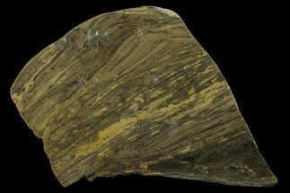 "Buy 6.2"" Polished Stromatolite (Kussiella) Slab - 1.88 Billion Years - #130627"
