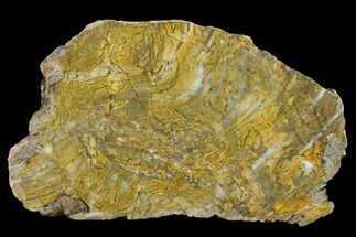 Strelley Pool Stromatolite - Fossils For Sale - #130629