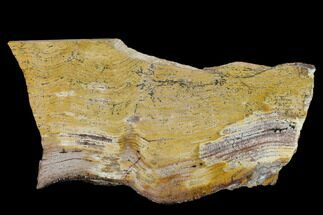 "8.25"" Strelley Pool Stromatolite Slab - 3.43 Billion Years Old For Sale, #130634"