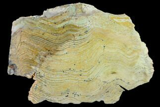 "Buy 8"" Strelley Pool Stromatolite Slab - 3.43 Billion Years Old - #130636"