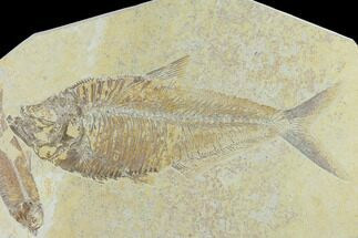 "Buy 9.6"" Diplomystus With Knightia Fossil Fish - Green River Formation - #131218"