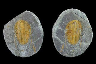 "2.45"" Hamatolenus Trilobite With Pos/Neg - Tinjdad, Morocco For Sale, #131342"
