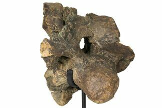 "Buy 12"" Triceratops Occipital Braincase on Stand - North Dakota - #131350"