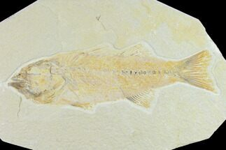 Mioplosus labracoides - Fossils For Sale - #131139