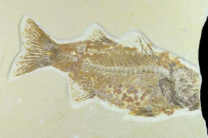 "Bargain 10.1"" Fossil Fish (Mioplosus) - Uncommon Species"