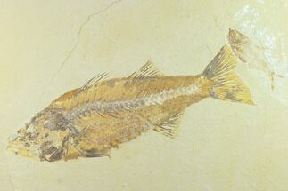 Mioplosus labracoides - Fossils For Sale - #131133