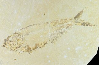 "Buy Bargain 9.8"" Fossil Fish (Diplomystus) - Green River Formation - #131134"