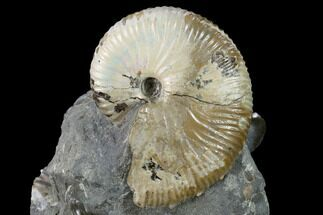 Hoploscaphities nicolletii - Fossils For Sale - #131220