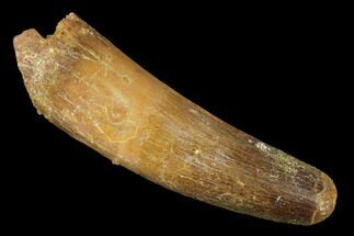 "Buy 2.27"" Spinosaurus Tooth - Real Dinosaur Tooth - #131077"