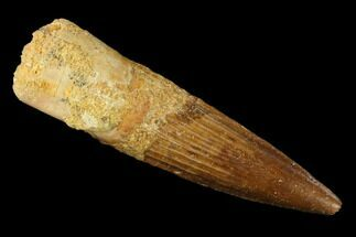 "Bargain, 2.54"" Spinosaurus Tooth - Real Dinosaur Tooth For Sale, #131084"
