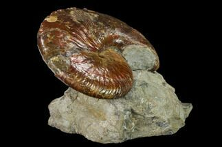 "2.6"" Red Iridescent Ammonite (Hoploscaphites) - South Dakota For Sale, #131228"