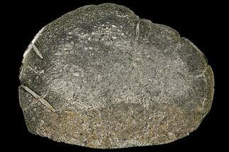 "Buy 4.8"" Pyritized, Polished Iguanodon Bone - Isle Of Wight - #131197"