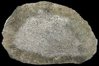 "Buy 7.7"" Pyritized, Polished Iguanodon Bone - Isle Of Wight - #131200"