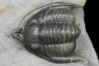 "1.45"" Diademaproetus Trilobite - Ofaten, Morocco For Sale, #130532"