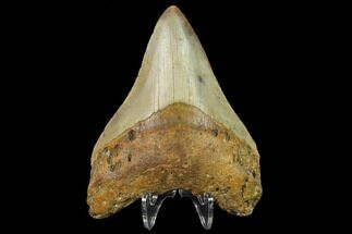 "3.52"" Fossil Megalodon Tooth - North Carolina For Sale, #131597"