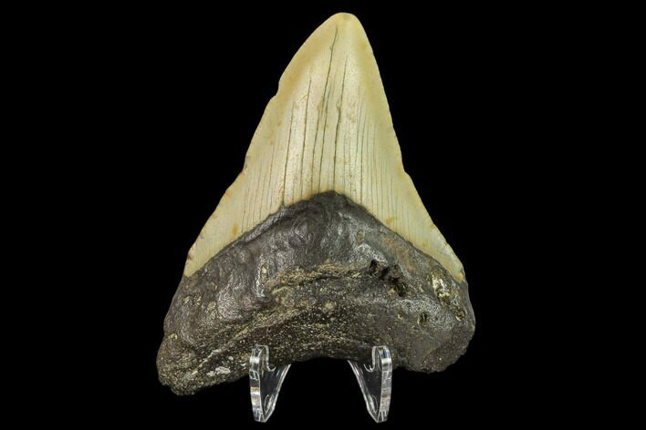 "3.22"" Fossil Megalodon Tooth - North Carolina"