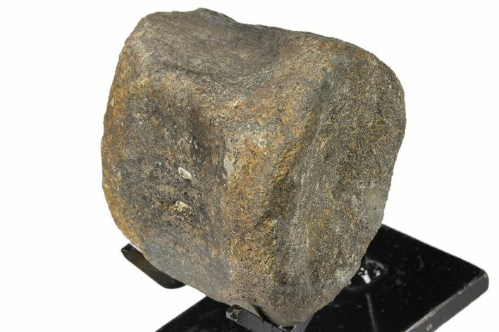 "2.6"" Hadrosaur (Gryposaur) Vertebra with Stand -Two Medicine Formation"