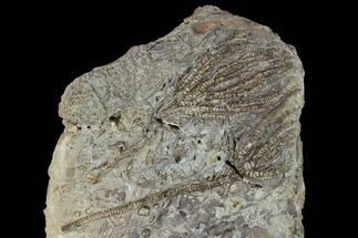 "Buy 5.4"" Plate Of Crinoids (Pentacrinites) - North Whitby, England - #131986"